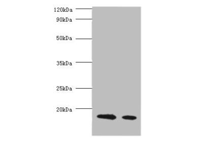 Milk Beta-Lactoglobulin Polyclonal Antibody
