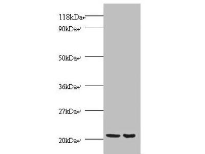 PRDX1 Polyclonal Antibody