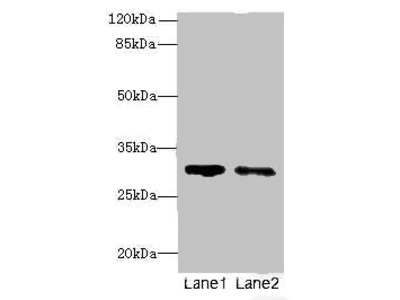 SLA Polyclonal Antibody
