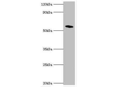 NR1H4 Polyclonal Antibody
