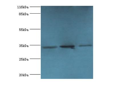 RPH3AL Polyclonal Antibody