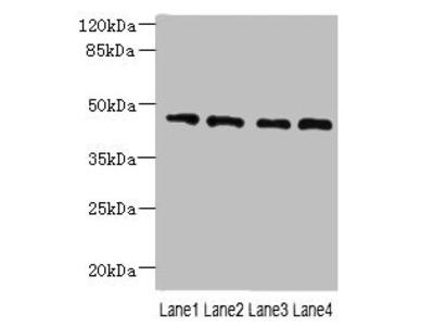 NOL4L Polyclonal Antibody