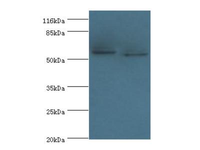 DCAF4 Polyclonal Antibody