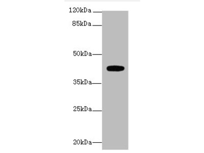 LPAR4 Polyclonal Antibody