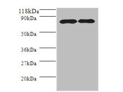 Amyloid Beta A4 Protein A Polyclonal Antibody