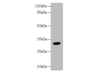 TMEM55A Polyclonal Antibody