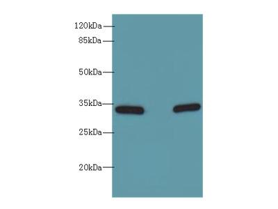 HSD17B12 Polyclonal Antibody