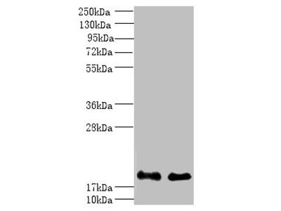 PPP3R1 Polyclonal Antibody