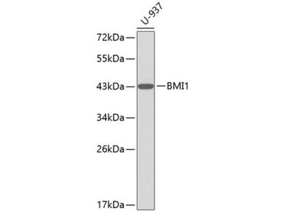 BMI1 Polyclonal Antibody