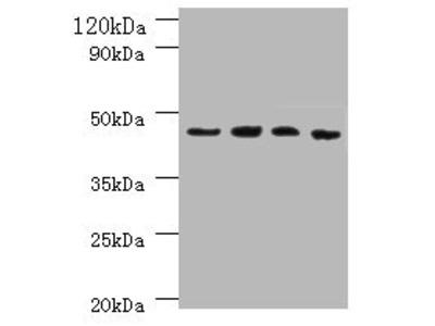 IDO1 Polyclonal Antibody