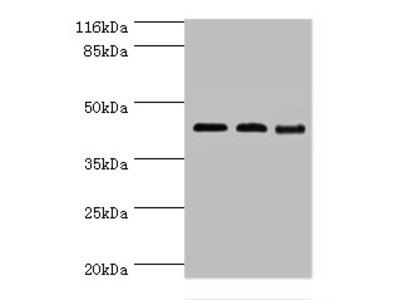BCAT2 Polyclonal Antibody