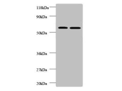 FUCA2 Polyclonal Antibody