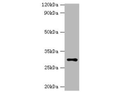 HSD11B1 Polyclonal Antibody