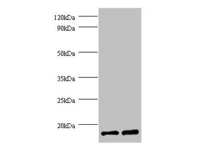 FKBP1A Polyclonal Antibody