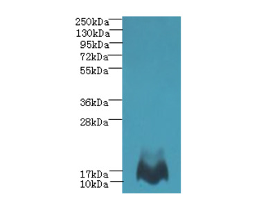 MTHFD2L Polyclonal Antibody
