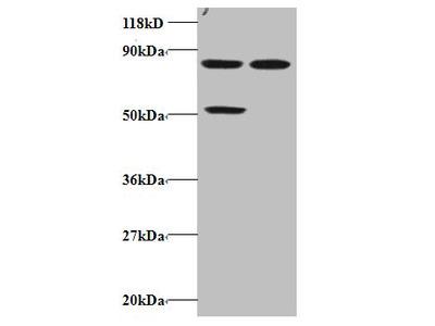 CCL22 Polyclonal Antibody