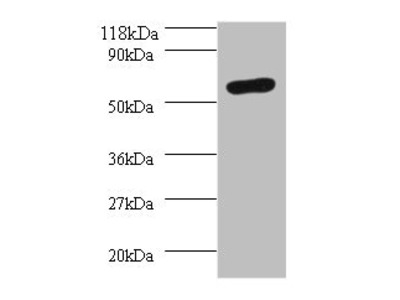 SEPSECS Polyclonal Antibody