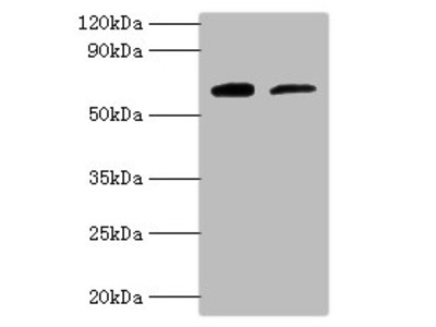 PSAP Polyclonal Antibody