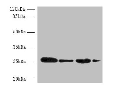 MED7 Polyclonal Antibody