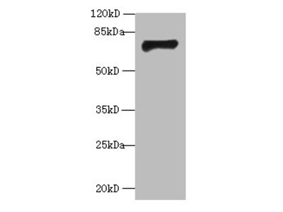 GABRA4 Polyclonal Antibody