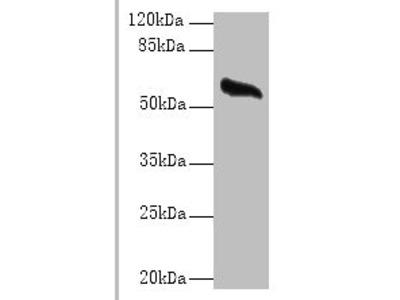 GPC4 Polyclonal Antibody