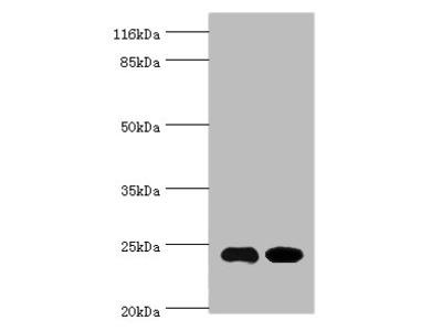 NOL3 Polyclonal Antibody