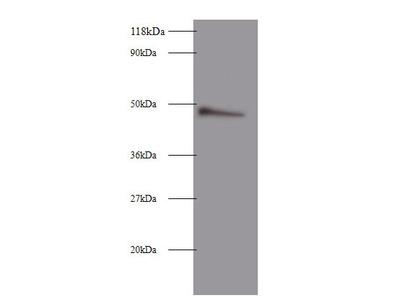 CLU Polyclonal Antibody