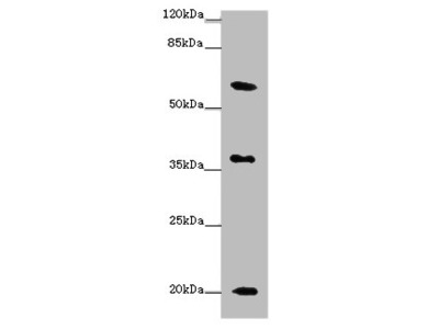 XG Polyclonal Antibody