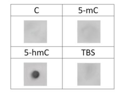 5-Hydroxymethylcytosine (5-hmC) Monoclonal Antibody [HMC/4D9]