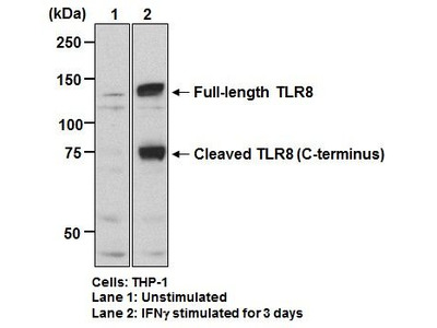Anti-TLR8 (CD288) (Human) pAb