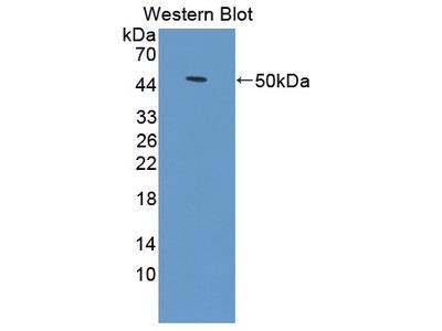Rabbit Anti-TICAM2 Antibody