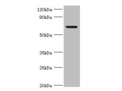 Rabbit Anti-Plbd2 Antibody