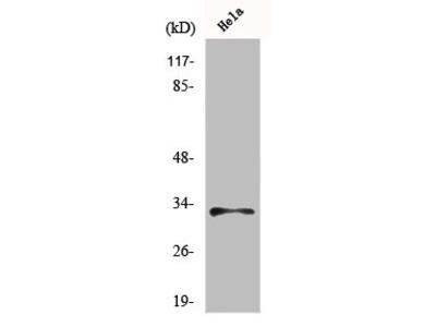 Rabbit Anti-MRPL15 Antibody