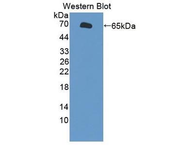 Rabbit Anti-TAT1 Antibody