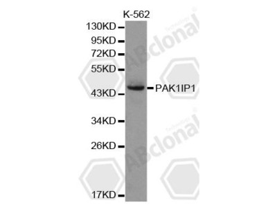 Rabbit Anti-PAK1IP1 Antibody