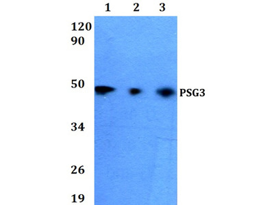 Rabbit Anti-PSG3 Antibody