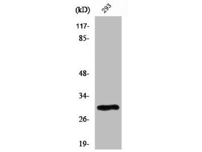 Rabbit Anti-PIGX Antibody