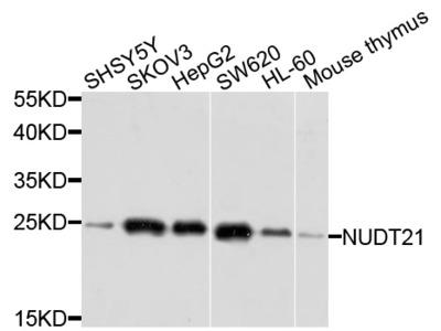 Rabbit Anti-NUDT21 Antibody