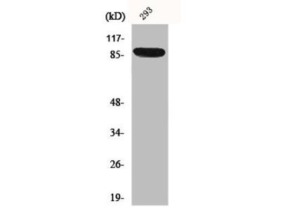 Rabbit Anti-IL4R Antibody