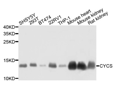 Rabbit Anti-CYCS Antibody