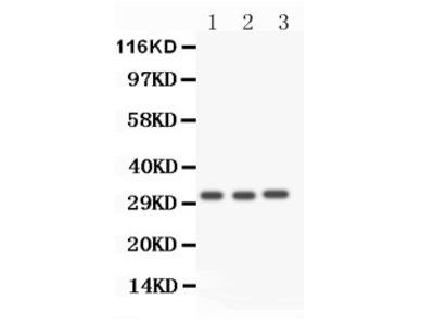 Rabbit Anti-Caspase 3 Antibody