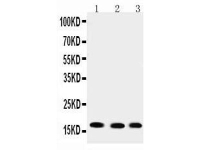 Rabbit Anti-UBE2I, CT Antibody