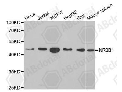 Rabbit Anti-NR0B1 Antibody