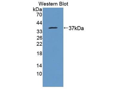 Rabbit Anti-PTTG1IP Antibody