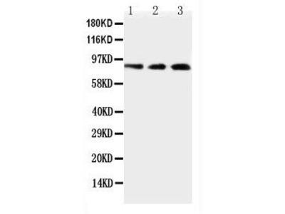 Rabbit Anti-TLR2, NT Antibody