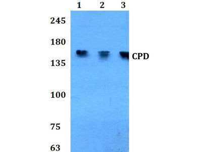 Rabbit Anti-CPD Antibody