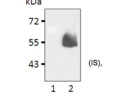 Mouse Anti-HA Tag Antibody