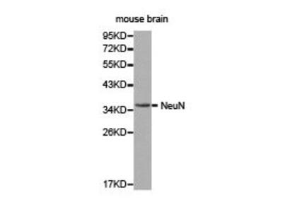 Rabbit Anti-RBFOX3 Antibody