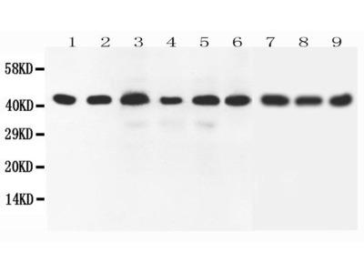 Rabbit Anti-SOX7, CT Antibody
