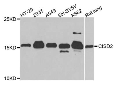 Rabbit Anti-CISD2 Antibody
